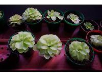 For Sale Carnivorous Plants