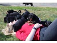Collie x huntaway puppies