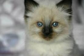 READY NOW... 1 FEMALE Ragdoll kitten