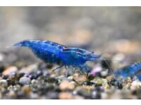 Blue Dream shrimps NeoCardina fresh water shrimps for fresh water fish tank /Aquariums