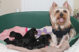 Lovely Yorkshire Terrier pups