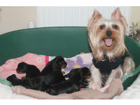Lovely Yorkshire Terrier pups