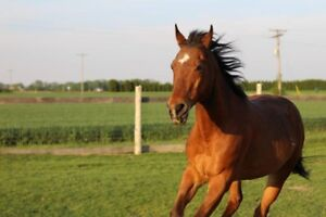 Beautiful Thoroughbred Quarter Horse Cross