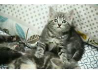 Beautiful solid grey kittens for sale