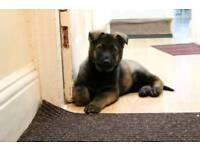 German shepherd Big Boned puppy