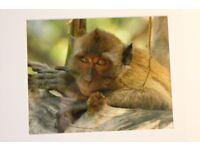 Brand new Original Photo Rhesus monkey Sri Lanka traveling in Asia in a frame