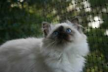 Birman Kittens For Sale Heathcote Sutherland Area Preview