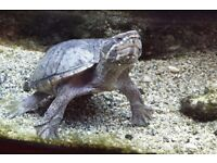 Male musk turtle needs rehoming