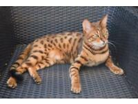 Missing cat bengal leopard tiger tabby brown spotted rosettes female £1000 reward