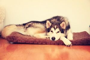Alaskan malamute up for addoption . Ryde Ryde Area Preview