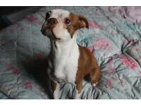 Kc registered health tested Boston terrier 3 years old