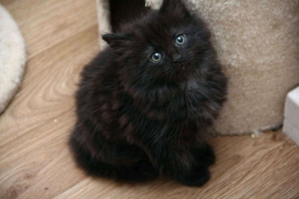 Very cute Fluffy black male kittens | in Manchester City ...