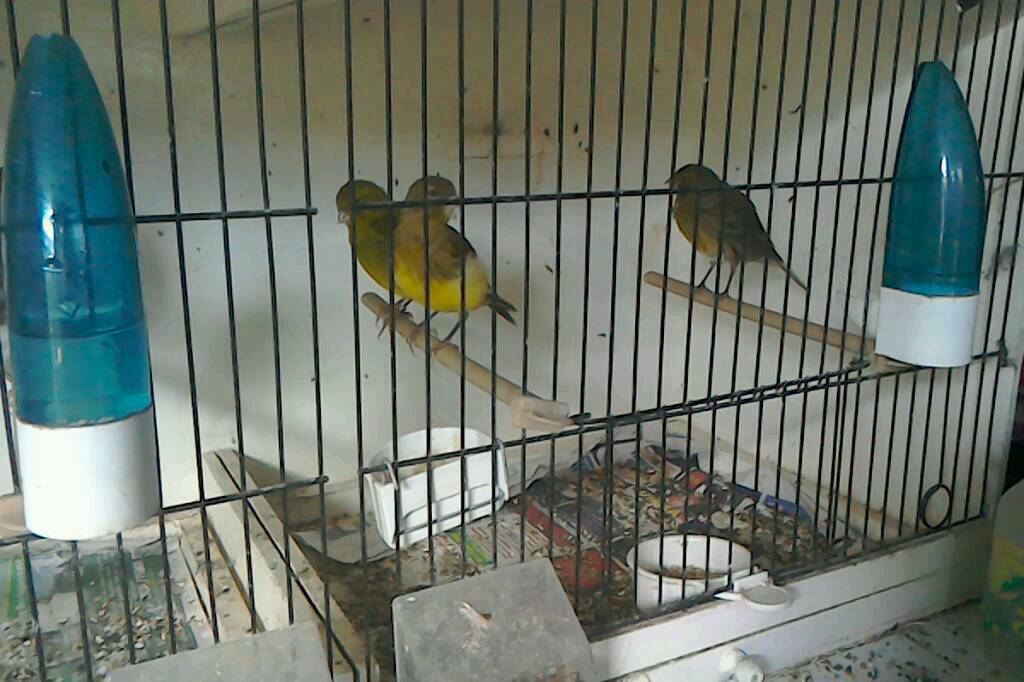 For sale adult canarys