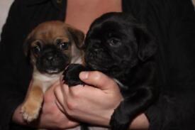 Stunning litter 3/4 pug puppies