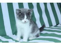 Beautiful british blue cat