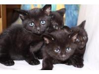 4 Black Short Haired Kittens