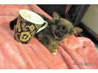 Pom-Chi pups