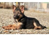 German Shepherd Puppy Girl For Sale
