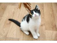 1 black and white sweet boy kittwn left 8 weeks