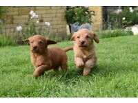 F1 Fox red health tested labradoodle puppies