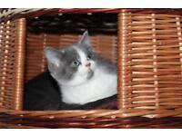 Beautiful pedigree british shorthair kitten