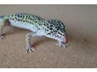 Leopard gecko mack snow male