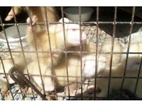 baby ferrets 3 girls 3 boys £20 each regularly handled