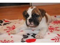 For Sale Old English Bulldogs