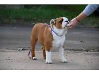 8m old bulldog male