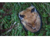 Fox Full Mask Taxidermy Sporran