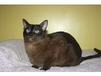 Tonkinese Male 3yrs