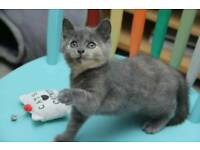 Blue Kittens For Sale : Blue kittens cats kittens for sale gumtree