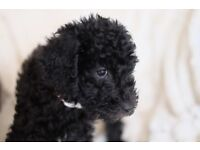 Beddypoo, Bedoodle Puppies (Poodle x Bedlington ) Just two pups left and ready to go now.