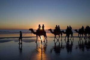 "Beautiful 24""x36"" High Definition ""CAMELS ON BEACH"" Picture."