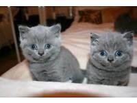 British shorthair kittens registered gccf