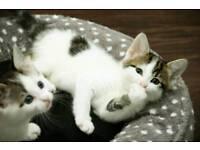 2 Tabby and White female kittens LEFT