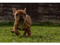 Stunning french bulldog girl