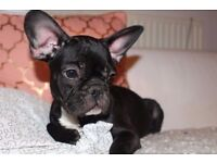 Black French Bulldog Blue Gen. Puppy Girls Kc. Reg