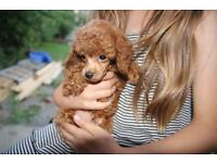 Tiny toy poodle puppy