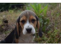 Endless Love Smally Pocket Beagle Puppies
