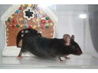 Friendly mice in need of good homes