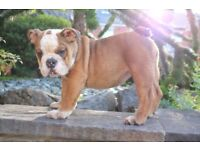 4 English bulldog pupies 3 girls 1 boy full kc registerd vacinated and ready for forever homes