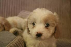 Chavachon pups