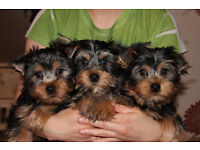 For sale lovely Yorkshire terrier puppies