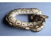 Royal python morphs