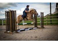 Haflinger Gelding For Sale