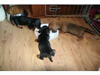 Two miniature dachshund puppies