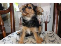 Yorkshire Terrier Cross male Puppy £275.00