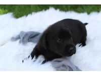 Lovely black Labrador puppies looking for new home.