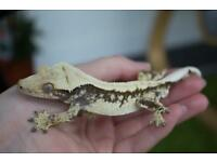 Male 20g creamy crested Gecko